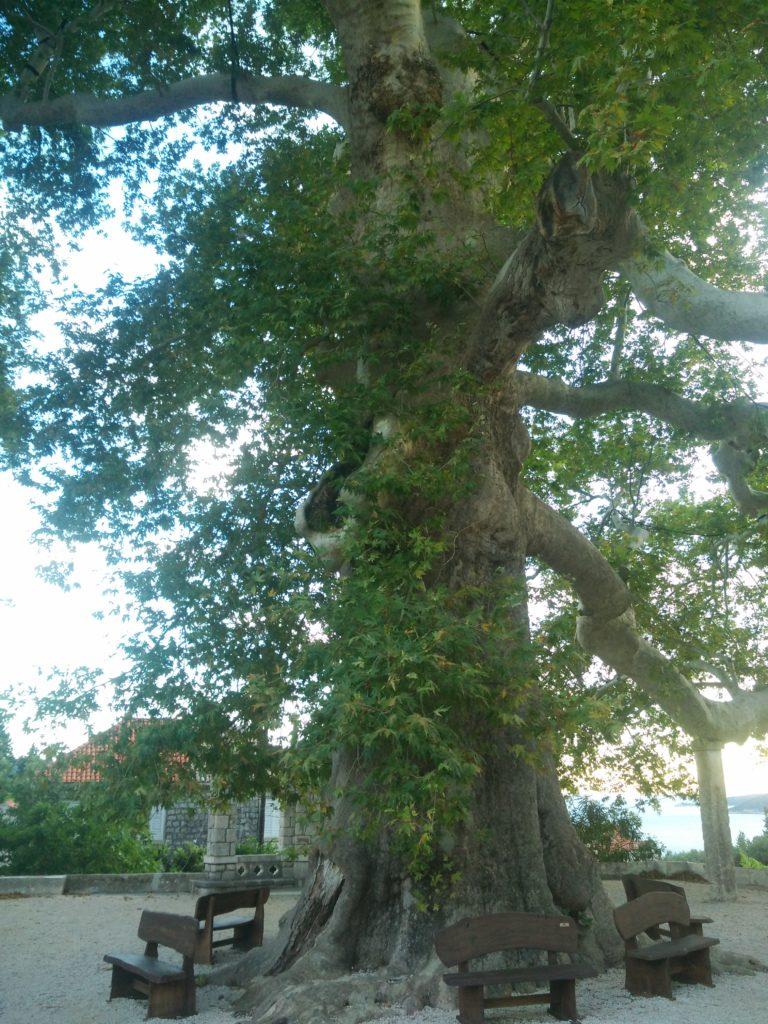 Trsteno Arboretum plane tree